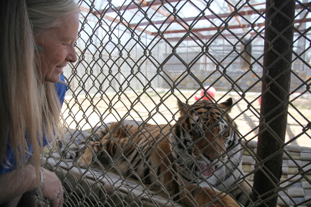 operation should reduce texas tiger s arthritic pain with video rh columbian com
