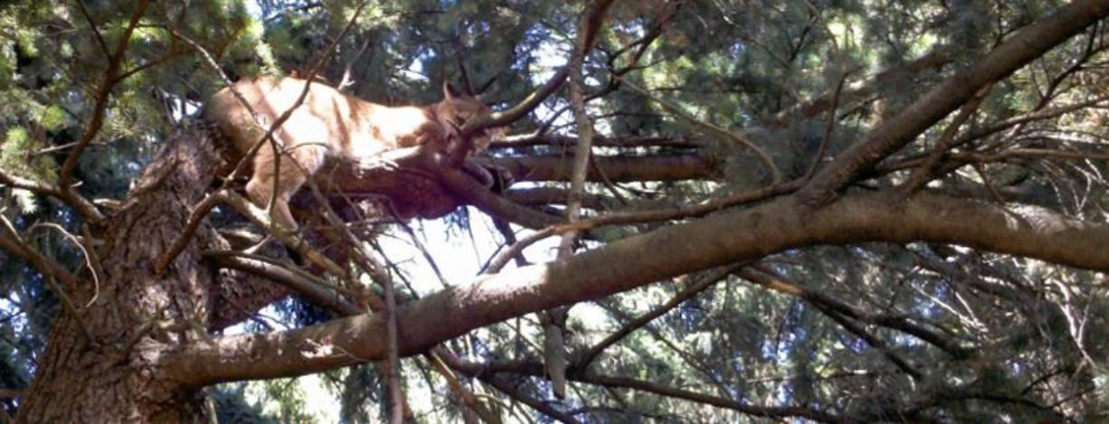 A young female cougar relaxes 12 feet up a tree Monday morning just south of the Veterans Medical Center -- Vancouver, 1601 E. Fourth Plain Blvd. Officers sedated it with darts and a syringe, and released it in a forested area.