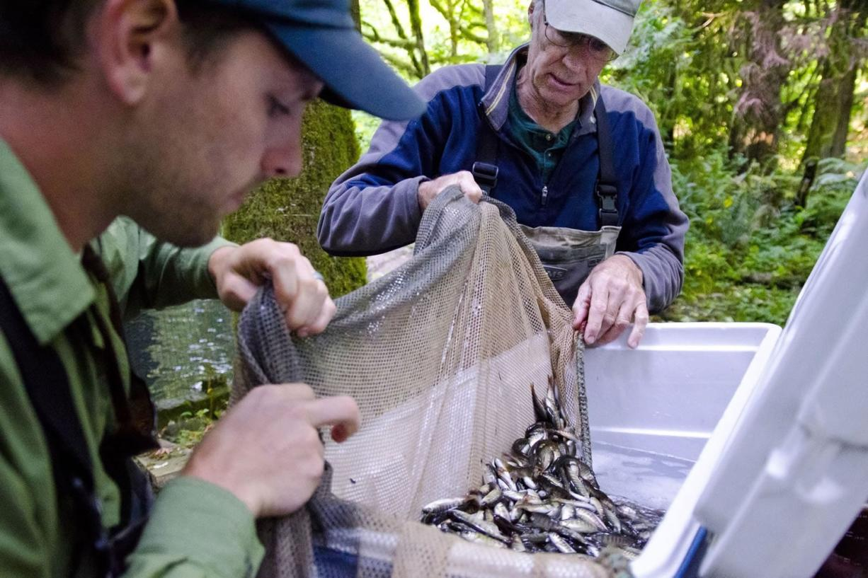 Brice Crayne, a field technician at Clark Public Utilities and assistant at Northwest Wild Fish Rescue, left, helps Dave Brown move fish from a man-made fish habitat outside Battle Ground this week. The fish were released into Upper Salmon Creek as part of Brown's fish rescue program, which had been overcapacity due to a record catch this year.