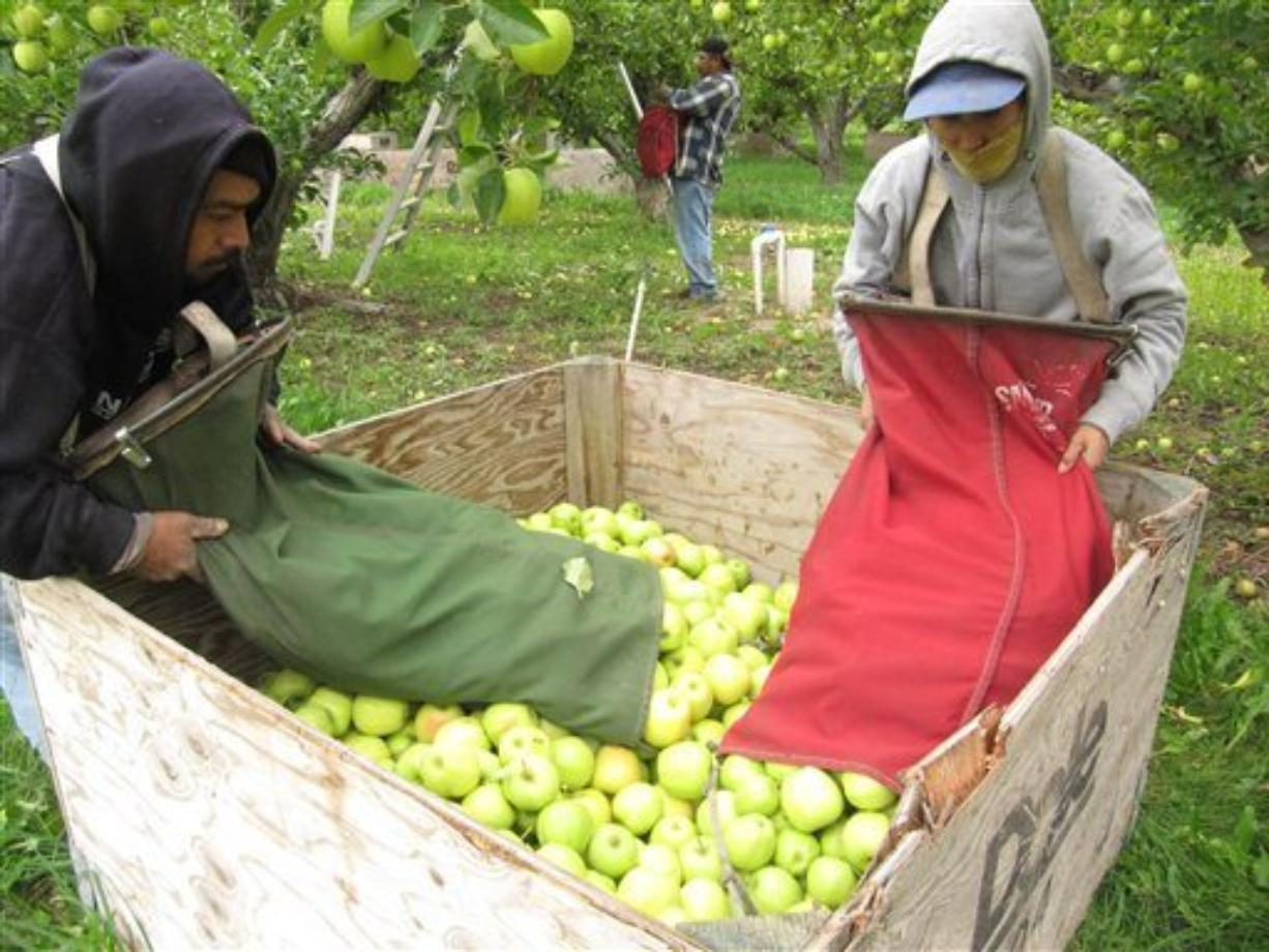 In this Oct. 21, 2011, file photo workers pick apples at an orchard in Tieton, Wash.