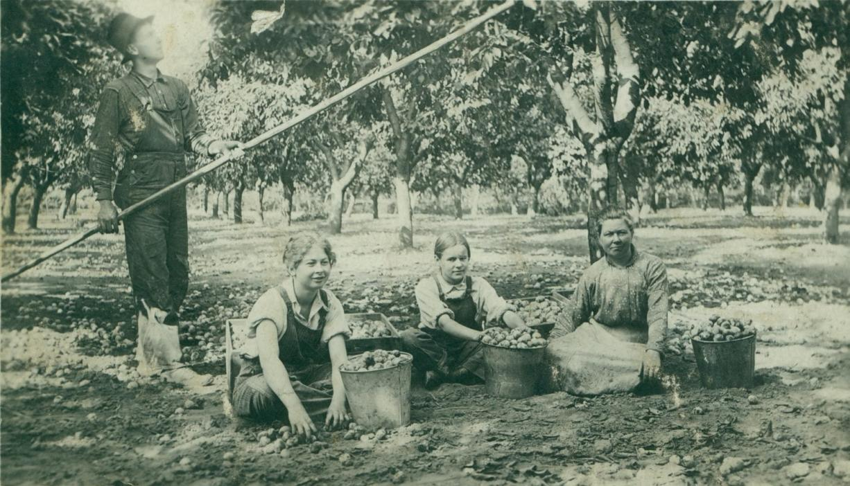 Prune workers toil at a Vancouver farm in this undated photo. From left are Grant Anderson, (unknown) Anderson, unknown, Mrs. Anderson.