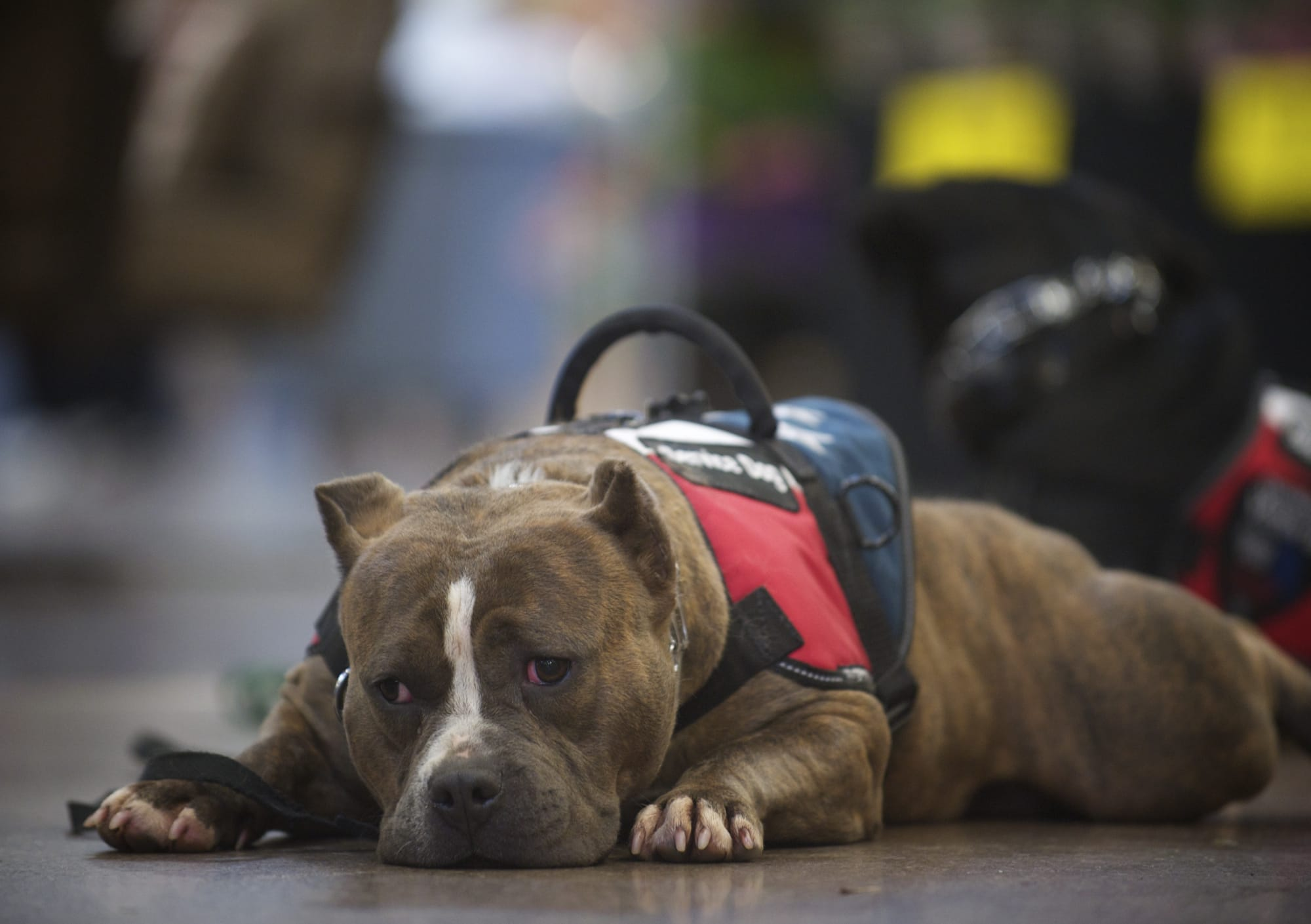 Diamond lays on the floor of the Fred Meyer in Battle Ground on Wednesday during training to become a combat veteran's companion.