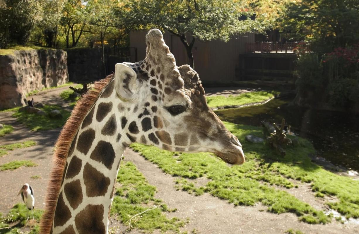 Akeem the giraffe at home in the Oregon Zoo's Africa Savanna exhibit.