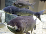 A bighead carp, front, a species of the Asian carp, swims in an exhibit that highlights plants and animals that eat or compete with Great Lakes native species at Chicago's Shedd Aquarium. A new study based on computer modeling says if Asian carp successfully invade Lake Erie, they eventually could make up about a third of the total fish weight there, and cause declines of walleye and other valuable sport species.