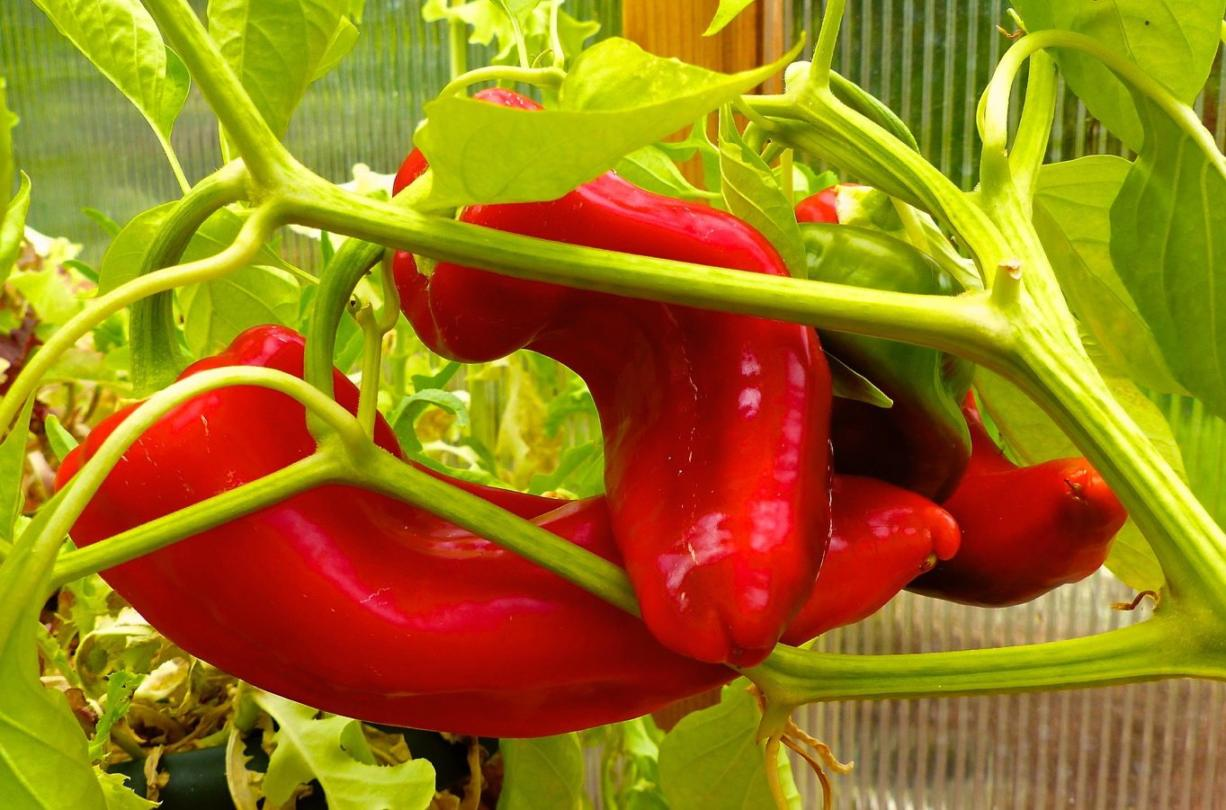 How to choose the right chili pepper for your garden