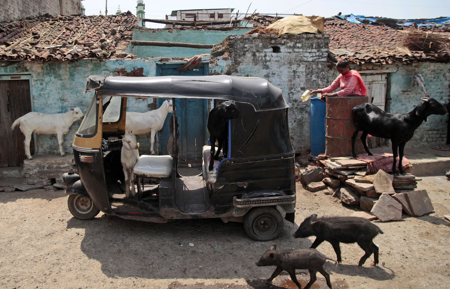 In this May 10, 2012 photo, animals walk in and around an auto rickshaw in the neighborhood where Fatima Munshi lives in Khandwa, India. Living in Australia, Saroo Brierley, 30, was reunited with his biological mother, Munshi, in February 2012, 25 years after an ill-fated train ride left him an orphan on the streets of Calcutta.