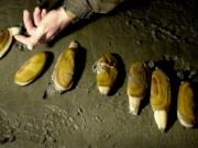 High levels of marine toxins have forced the cancelation of scheduled razor clam digs at Long Beach.