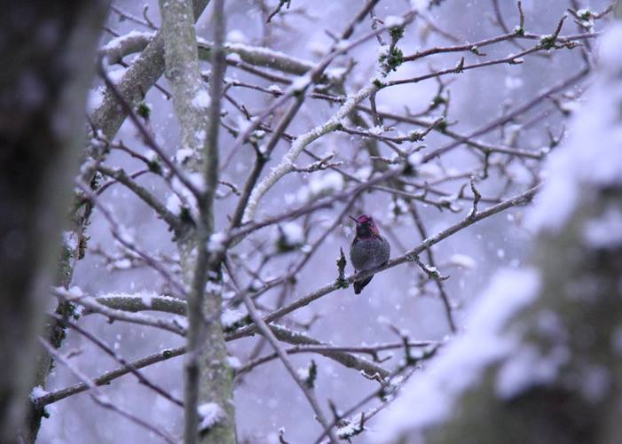Humming bird out enjoying the first snow of the year. This was taken in my backyard in Ridgefield.