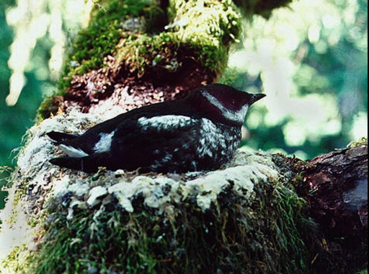 Marbled murrelets are a threatened species. Four public utility districts in Southwest Washington have pulled the plug on a proposal to build the Radar Ridge Wind Project, Washington's first coastal wind farm in the heart of the state's most valuable nesting habitat for the threatened marbled murrelet.