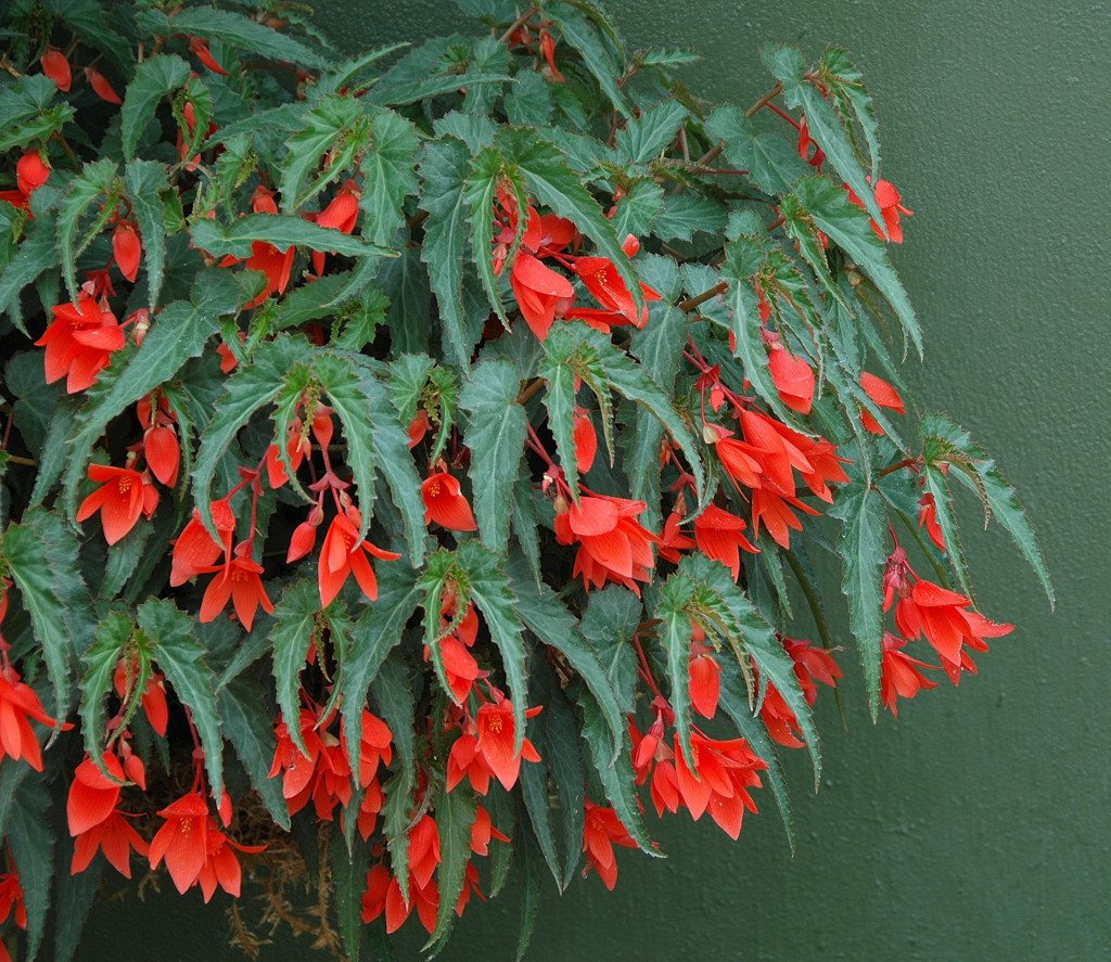 Bolivian Begonias Perfect For Hanging Baskets The Columbian