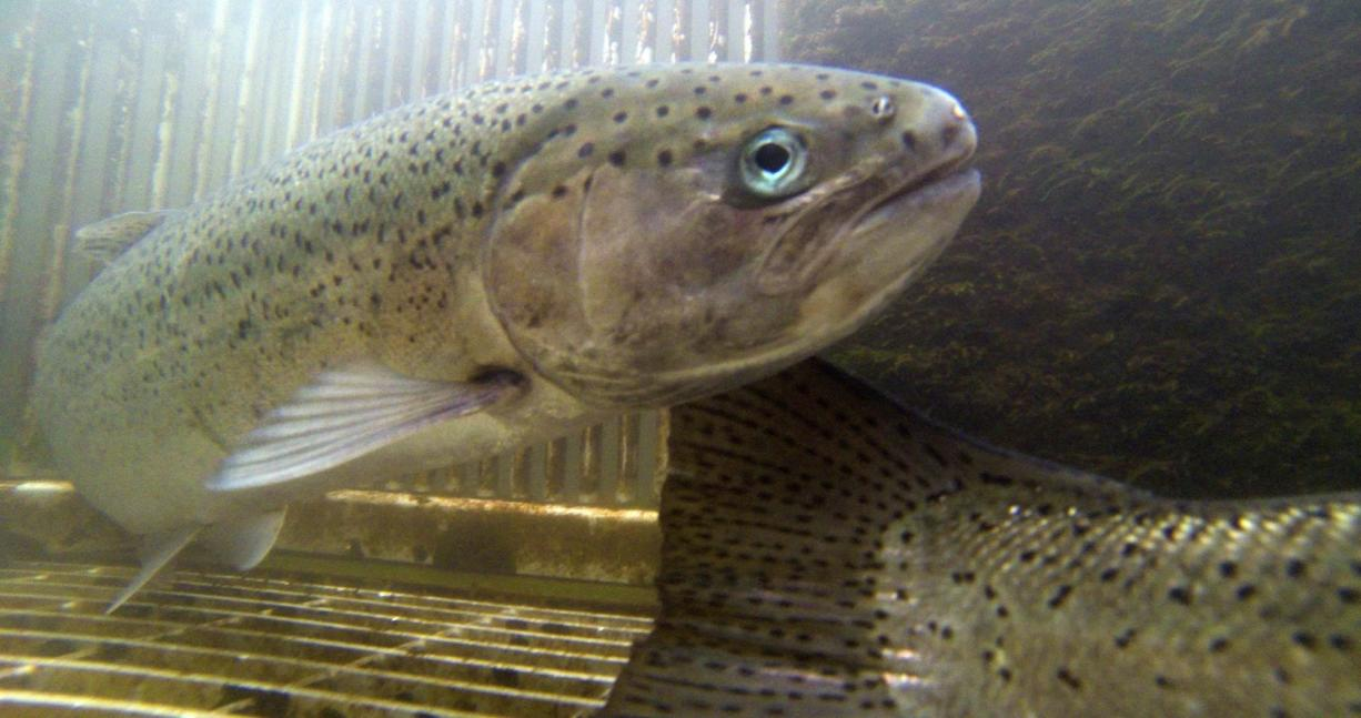 Summer steelhead from Skamania Hatchery on the North Fork of the Washougal River would continue to be released in five locations.