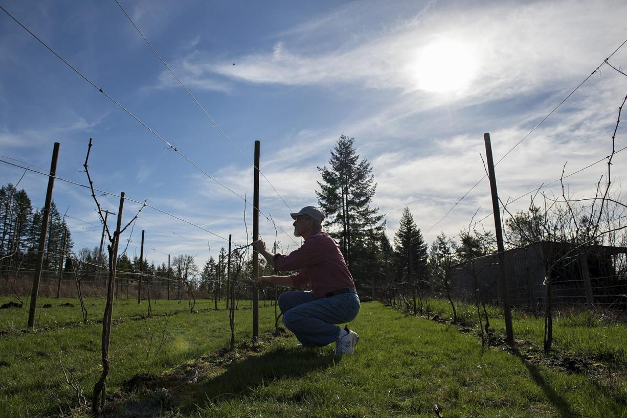 Roger Rezabek, president of the Southwest Washington Winery Association, prunes pinot noir grapes at his winery in Battle Ground. Rezabek Vineyards is one of ten charter member of the newly formed winery association. (Amanda Cowan/The Columbian)