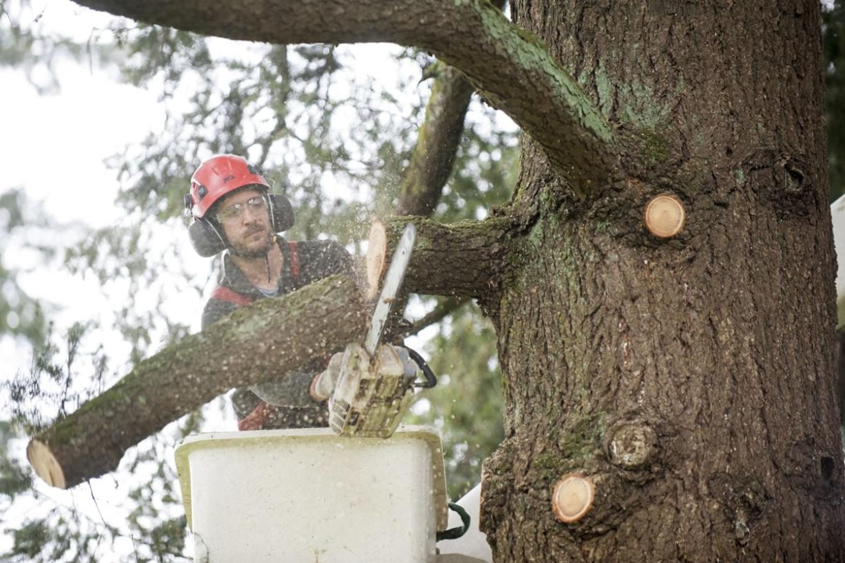 Jonathan Thomas trims a Douglas fir -- the right way -- at Fir Garden Park in east Vancouver on Wednesday. Proper trimming can improve the health of a tree.
