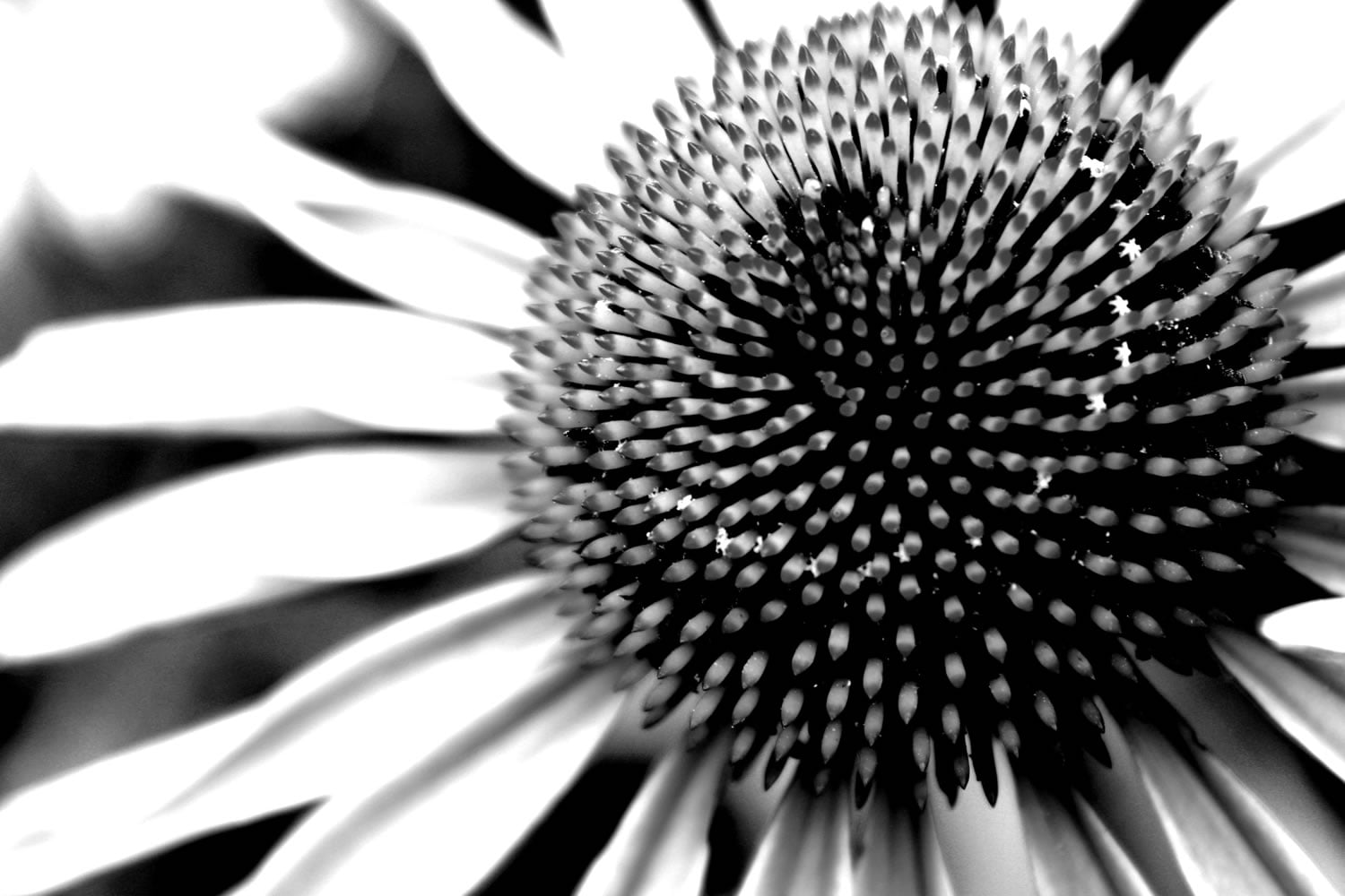 The cone flowers in summer have such a strong graphic shape, I thought that this image translated well to high contrast black and white image. This was taken in my garden last year.