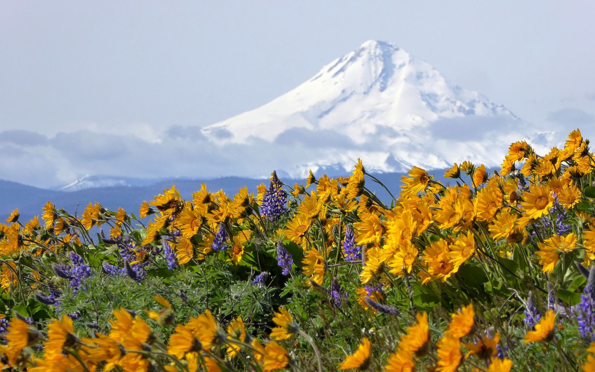 Incredible display of Spring wildflowers (balsamroot and lupine) in the Gorge, seen April 15 at Sevenmile Hill.