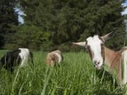 Goats from West Side Goat Girl graze in tall grass Thursday evening at Raymond E. Shaffer Community Park in Vancouver.