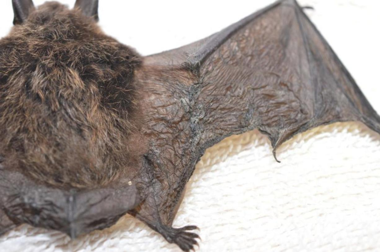 This little brown bat was found last month near North Bend and is the first and only confirmed case of white-nose syndrome in the state. Still, the U.S. Forest Service wants to ensure that the fungus stays out of Ape Cave near Mount St. Helens.