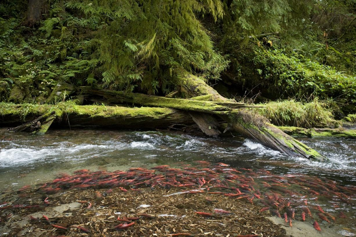 Kokanee jam lower Cougar Creek, a Yale Reservoir tributary, each fall when they spawn and die.