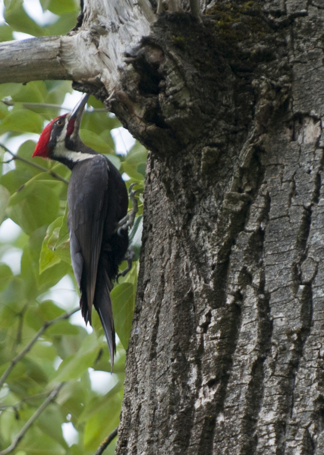 A pileated woodpecker looks for ants in a tree at the Steigerwald Lake National Wildlife Refuge near Washougal. (Natalie Behring/The Columbian)