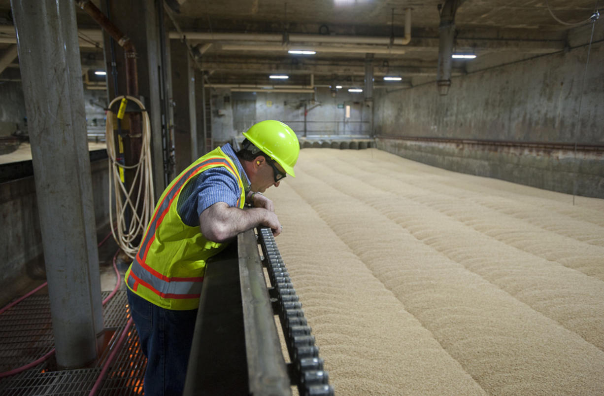 Scott Garden, director of research and technical services at Great Western Malting Co., looks over a sea of germinating wheat, a phase of the malting process, on Monday. The company malts 120,000 tons of grains such as wheat and barley every year at the Port of Vancouver plant.