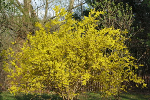 This forsythia in New Paltz, N.Y., is in all its glory this spring because it was pruned well last spring.