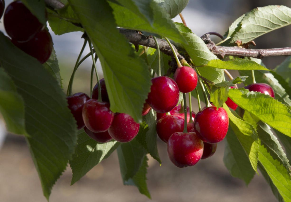 The 2016 cherry crop in the Northwest has been hit by the recent rain but the cherries at Fourth of July should still be excellent.