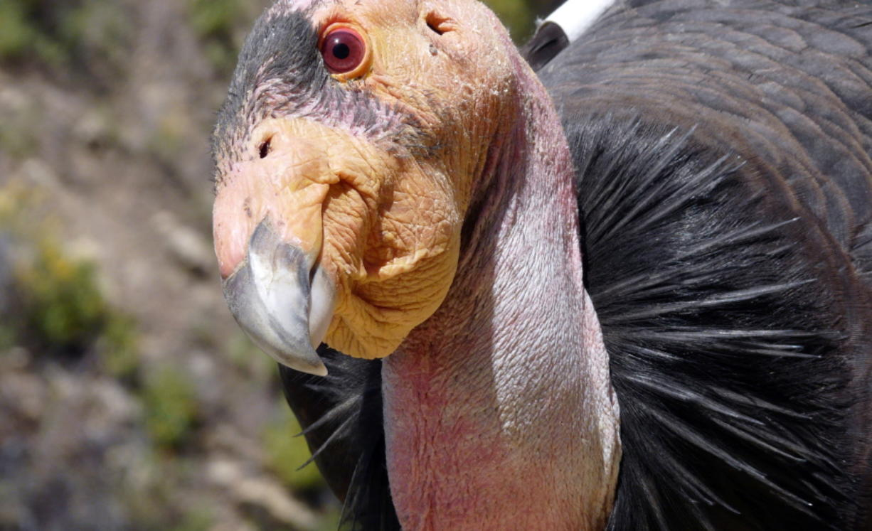 A California condor, identified as Condor No. 247, sits near his nest at the Hopper Mountain National Wildlife Refuge near Fillmore in Southern California, about 65 miles northwest of Los Angeles. (Joseph Brandt/U.S.