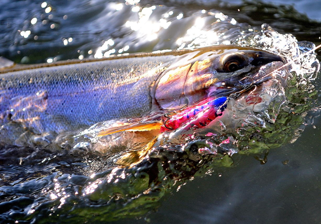 The Cowlitz River study will examine hooking mortality for a variety of gear types, including lures.