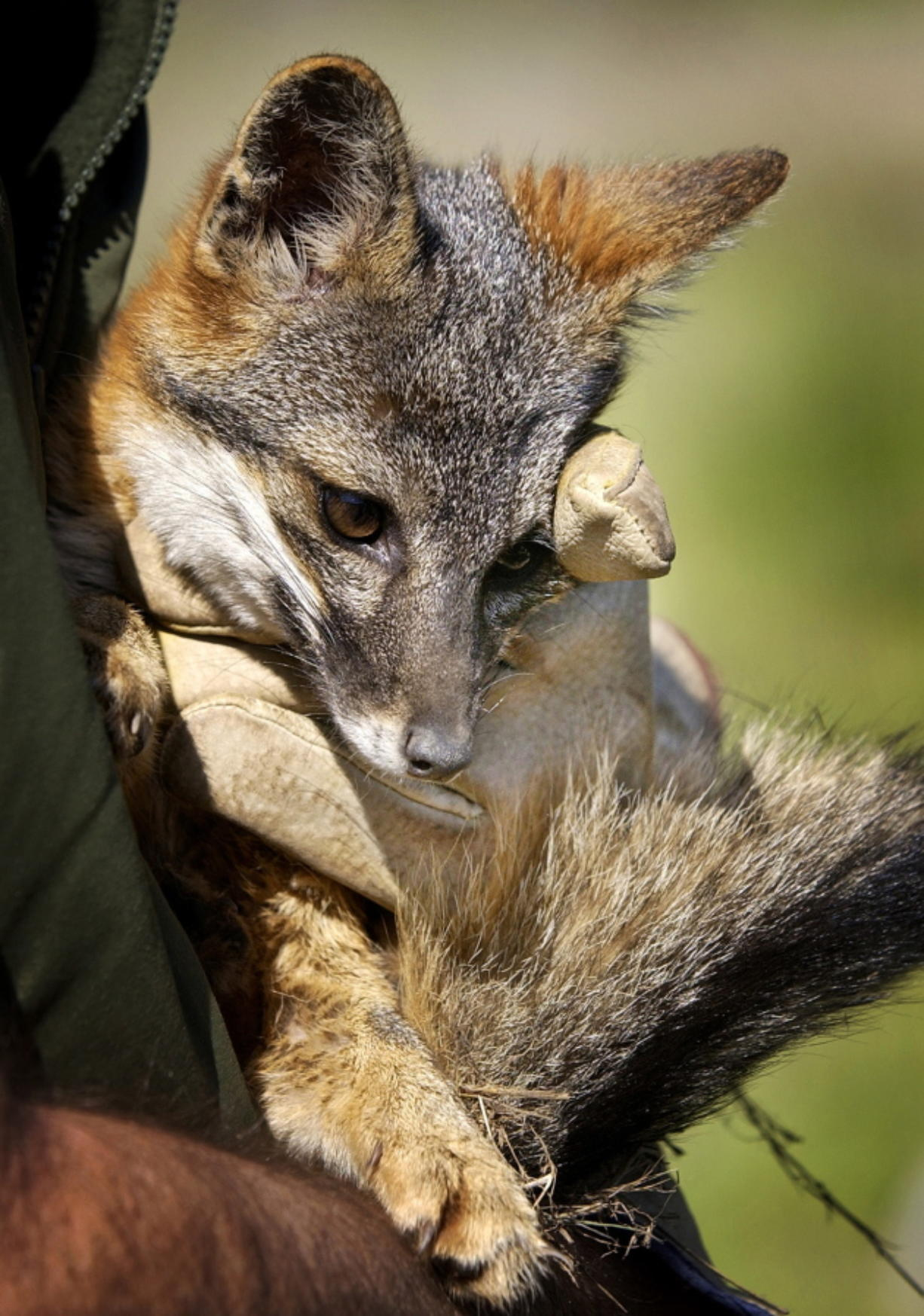 A Santa Cruz Island fox bred in captivity is held by a wildlife biologist for the National Park Service, on Santa Cruz Island in Channel Islands National Park, Calif.