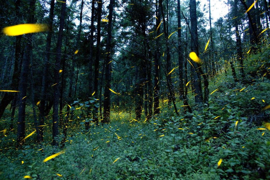 mexican farmers using firefly tourism to save forest the columbian