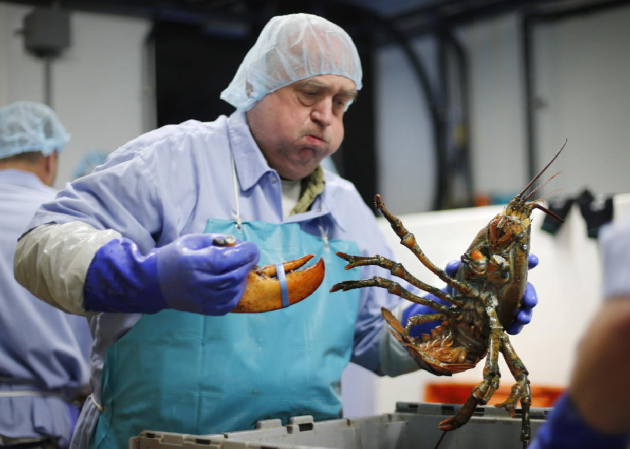 Frank Carlson breaks a claw off a lobster at the Sea Hag Seafood processing plant in St. George, Maine. Retail prices for lobsters have remained high into September. (Robert F.