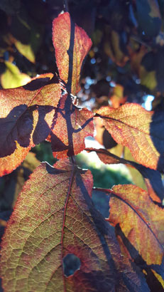 I took this when I was walking around my parents neighborhood in Vancouver Washington. The sun was setting and I thought it would be a perfect shot having the leaves in front and the light shinning behind.