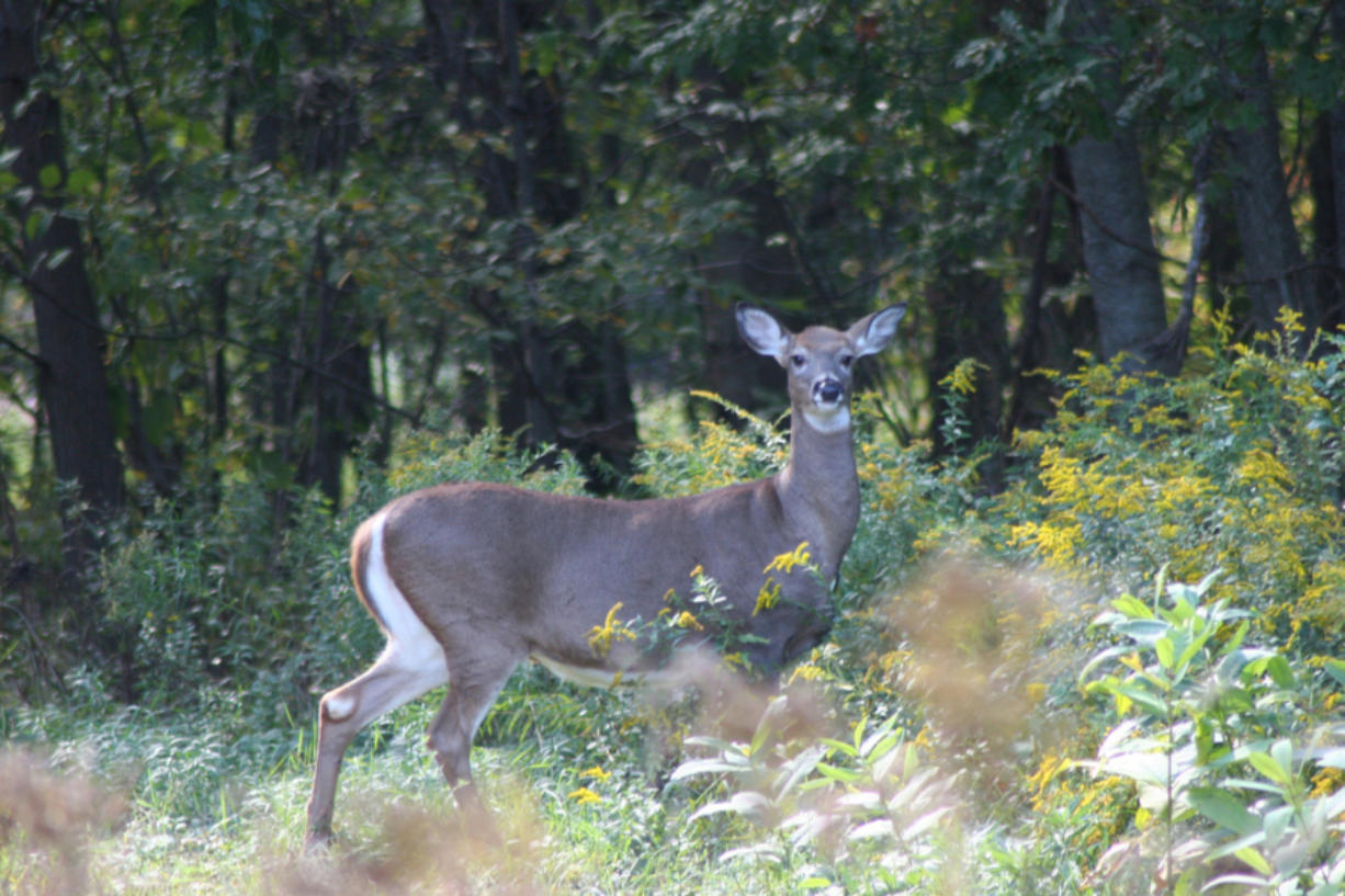 Listed as federally endangered in 1968, Columbian white-tailed deer populations rebounded high enough to be downlisted to threatened. (tim jewett/ U.S.