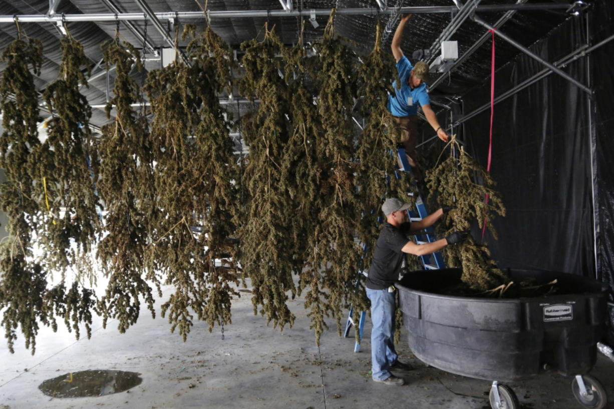 Farmworkers inside a drying barn take down newly harvested marijuana plants after a drying period Oct. 4, at Los Suenos Farms, America's largest legal open air marijuana farm, in Avondale, southern Colorado. Newly approved laws in four states allowing the recreational use of marijuana are seen as unlikely to change rules regarding use of the drug in the workplace. (Brennan Linsley/Associated Press)