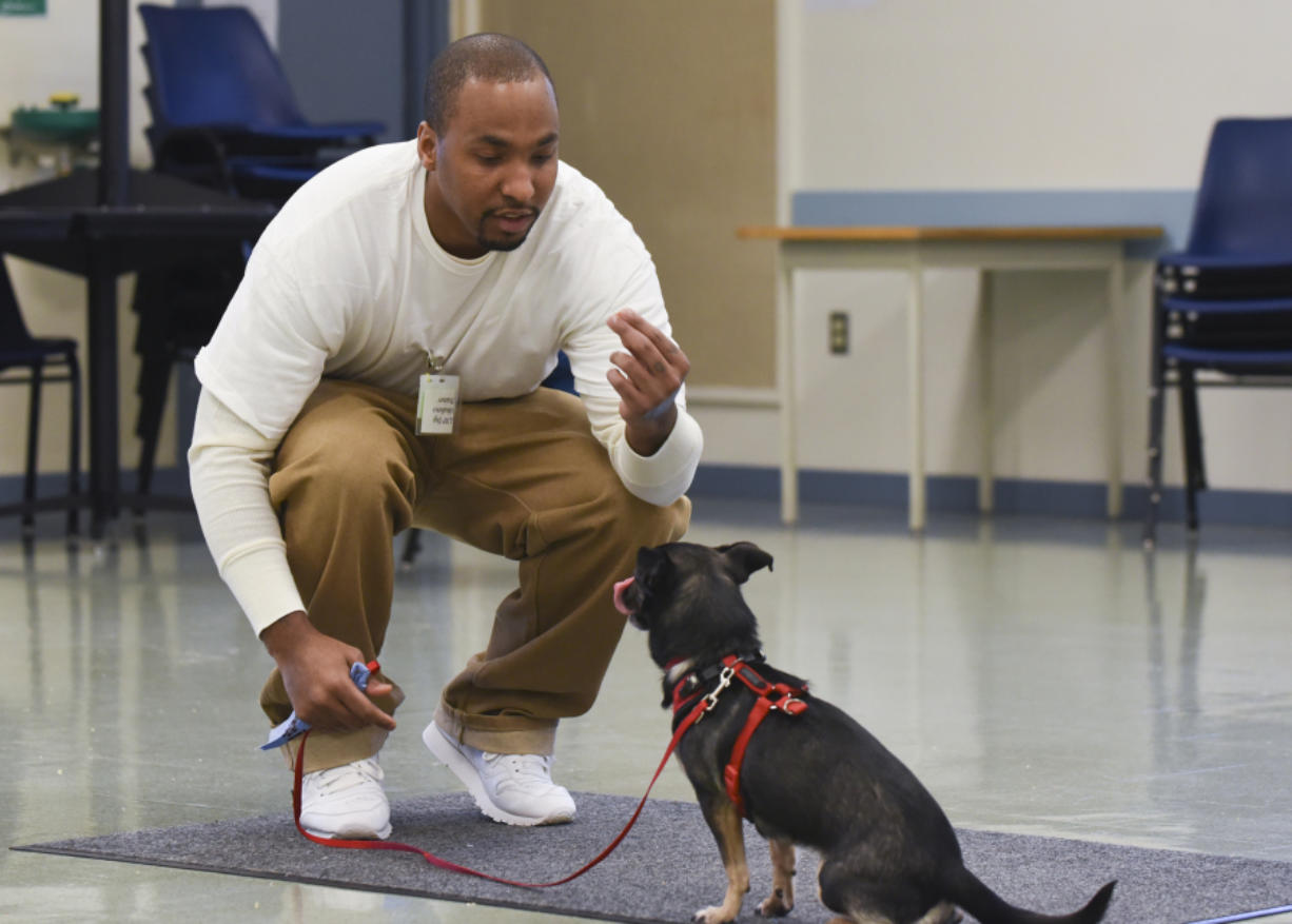 Demetrius Route, an inmate at Larch Corrections Center, works with Zelda, a 6-year-old Chihuahua-terrier mix from the Humane Society for Southwest Washington. Route is part of a new program at the prison that pairs a dog with inmates, who care for and train the dogs before they are adopted.