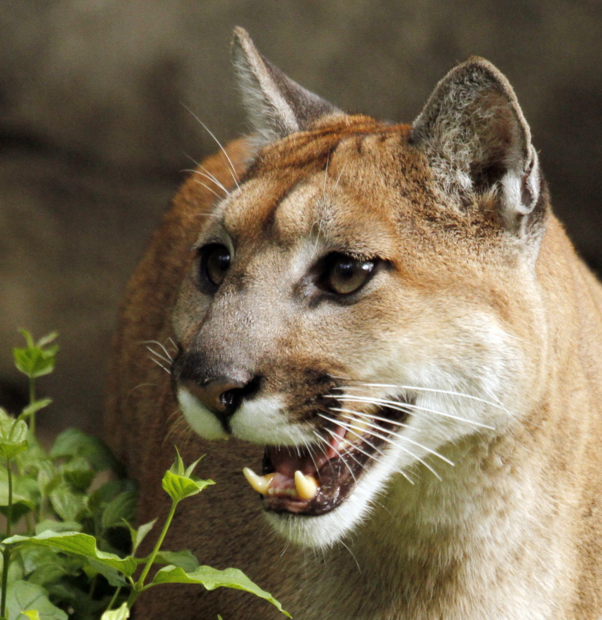 Columbian cougar