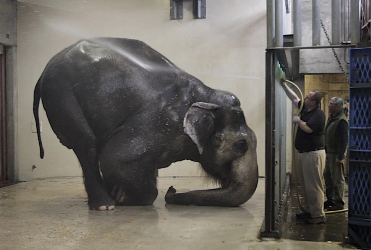 Packy, an Asian elephant, is sprayed with water at the Oregon Zoo March 27, 2012, in Portland. Packy at 54 is the oldest male of his species in North America. The zoo says Packy, born in 1962, became the first elephant to be born in the Western Hemisphere in 44 years. (Randy L.