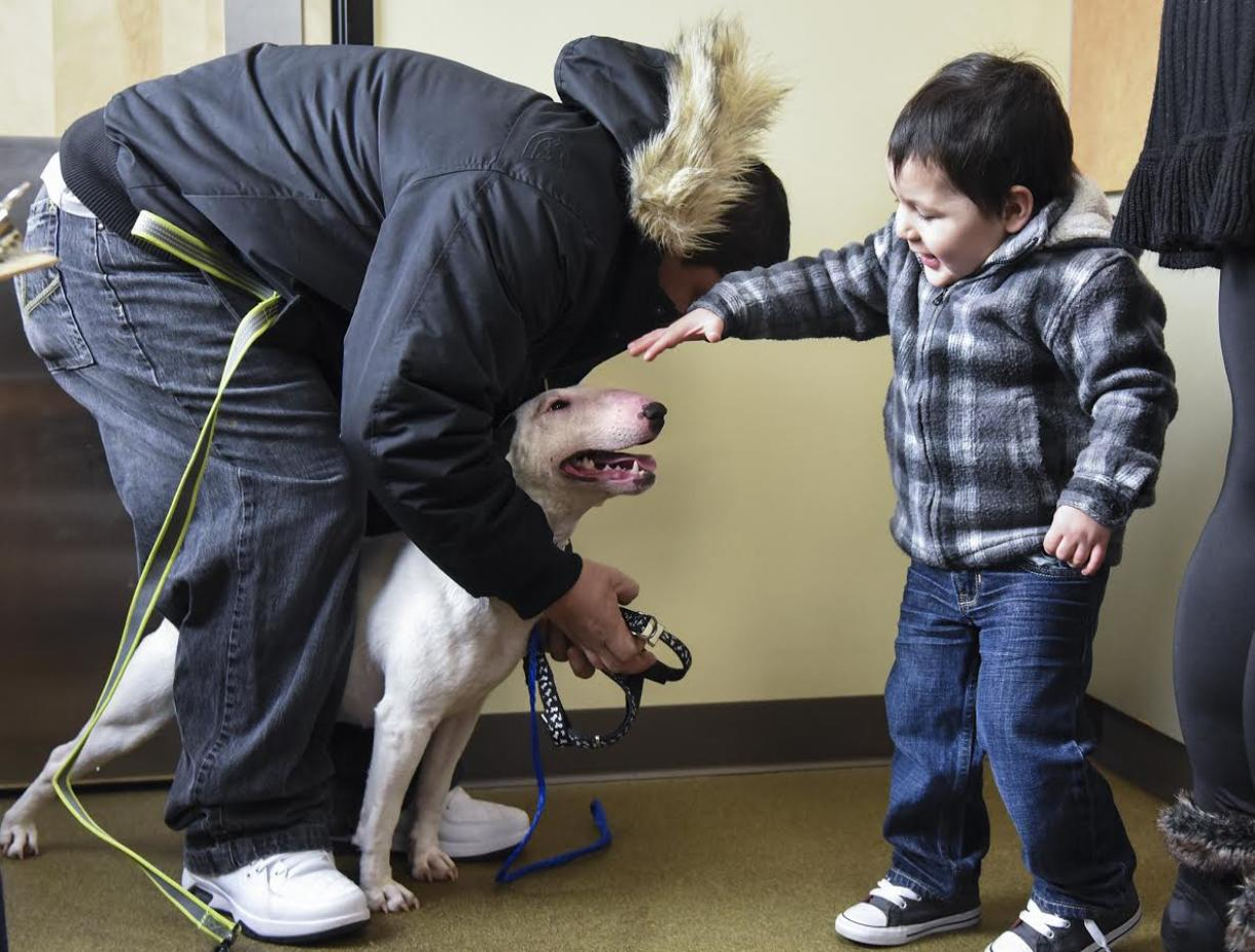 (LEAD OPTION) Julio Vorrayo, left, attaches a harness to Amaya, a one-year-old bull terrier, while Vorrayo's son, Julian Vorrayo pets the family dog at the Humane Society for Southwest Washington after Amaya escaped from the family's backyard and hoped on a school bus headed for Shahala Middle School in Vancouver, Wednesday February 1, 2017. (Ariane Kunze/The Columbian)