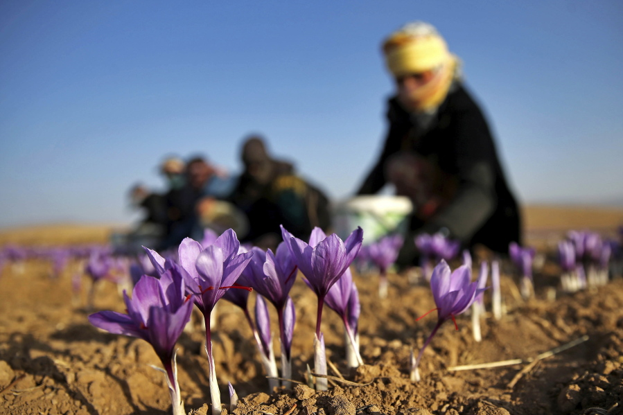 Growers Spice Up Crop Variety With Saffron Hope For Big Profits