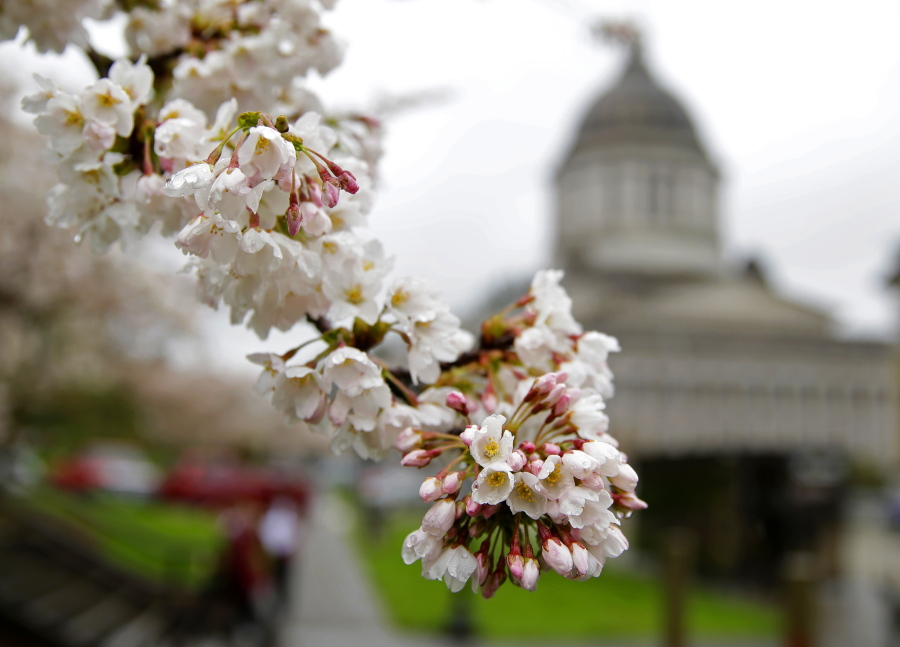 Spring blossoms on a tree stand out against the gray backdrop of the Legislative Building on March 28 at the Capitol in Olympia. (ted s.