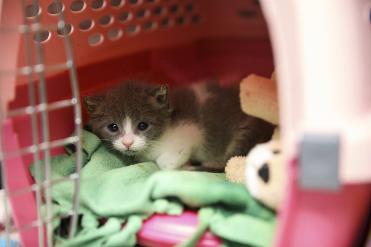 An unweaned kitten peeks from its shelter inside the kitten nursery at the Best Friends Animal Society shelter on April 27 in Mission Hills, California.