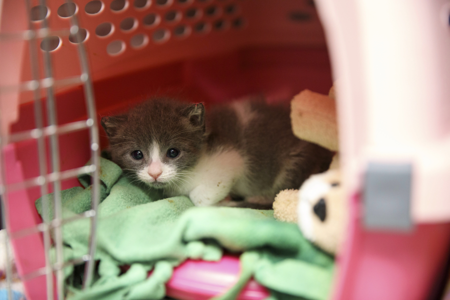 An Unweaned Kitten Ks From Its Shelter Inside The Nursery At Best Friends Animal