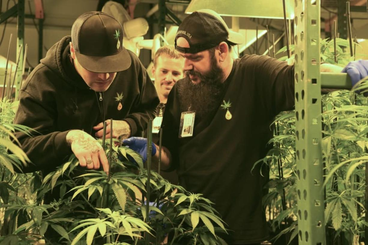 Casey Dawson, left, Matt Michaelson and Bryan Houghton look over a marijuana plant at Cedar Creek Cannabis in Vancouver in June. Ariane Kunze/The Columbian files
