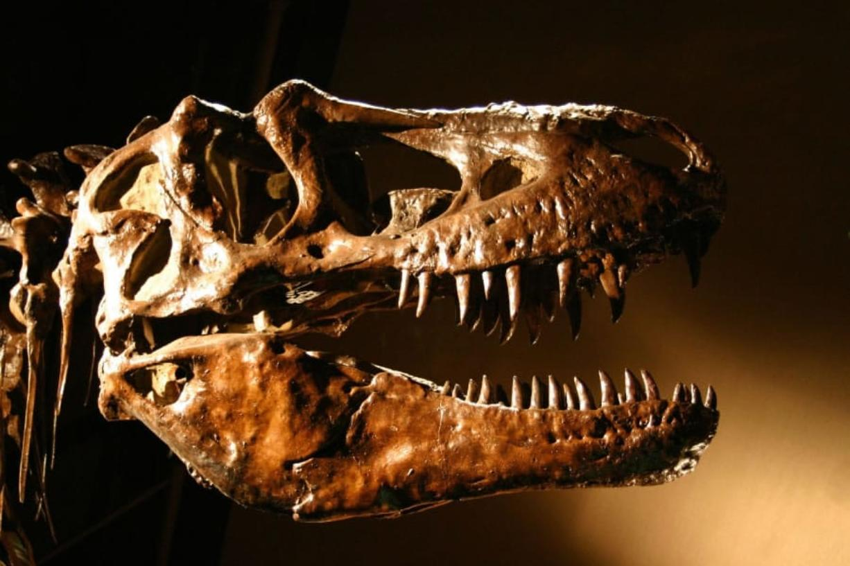 A T. rex used its teeth like a jackhammer to fracture bone and get food other predators couldn't access.