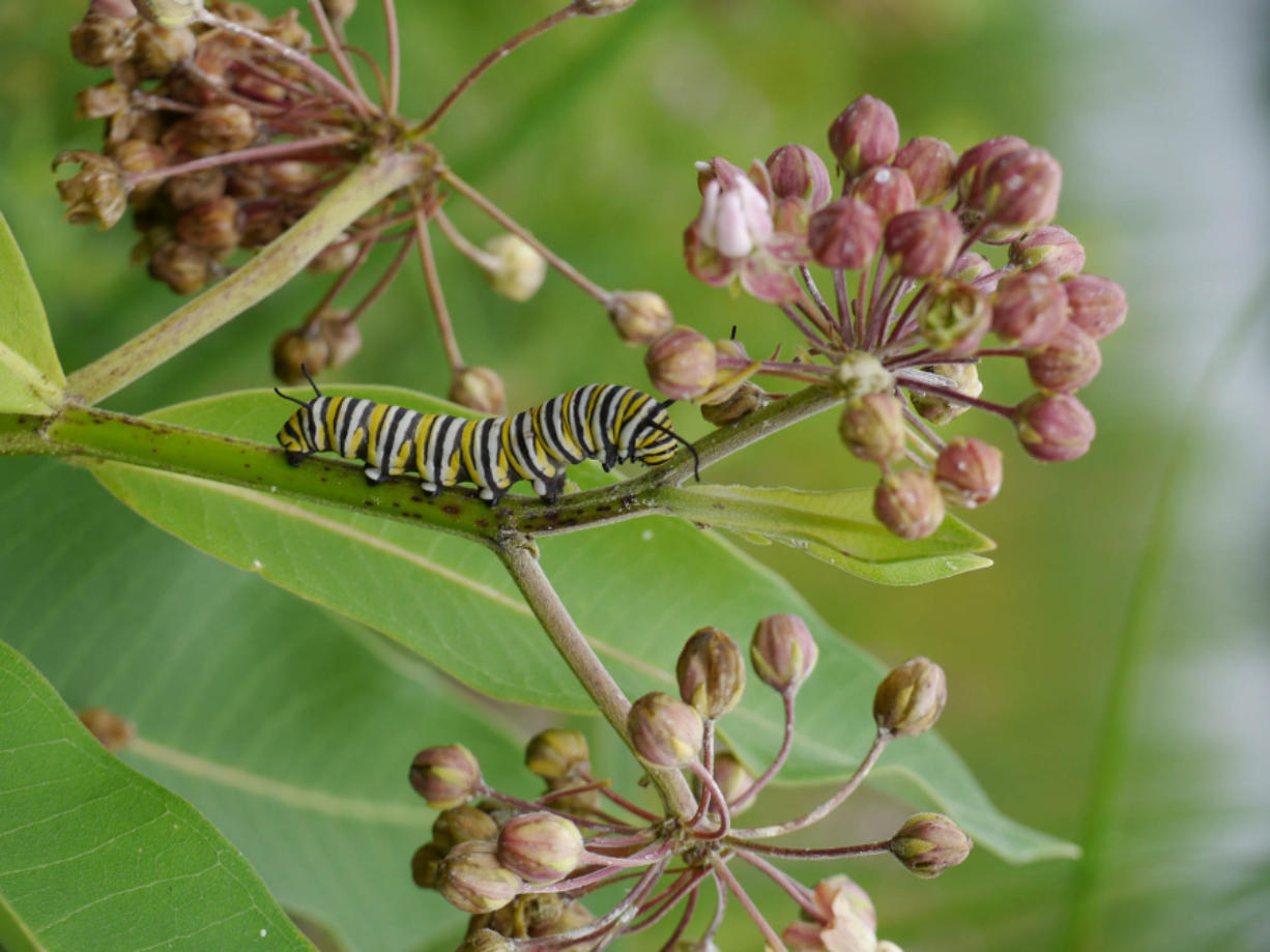 """In his new book, """"Monarchs and Milkweed,"""" Anurag Agrawal explains how monarch caterpillars can eat the toxins in milkweed and become poisonous to predators without harming themselves."""