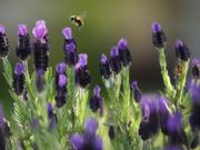 A bee makes its morning rounds pollinating Spanish Lavender.
