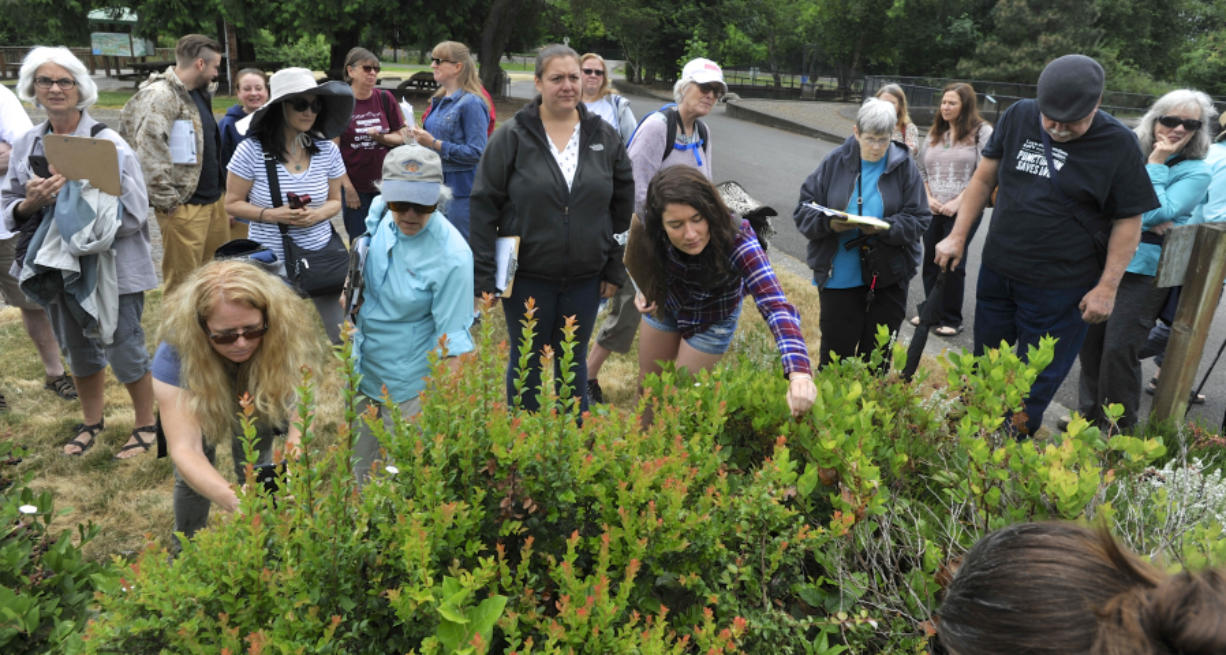 Participants of an Intro to Urban Foraging workshop Saturday morning pick salal berries from bushes at Columbia Springs in Vancouver. The berries were among the dozens of plants, trees and berries participants learned are growing in urban areas of the county and are safe to eat.