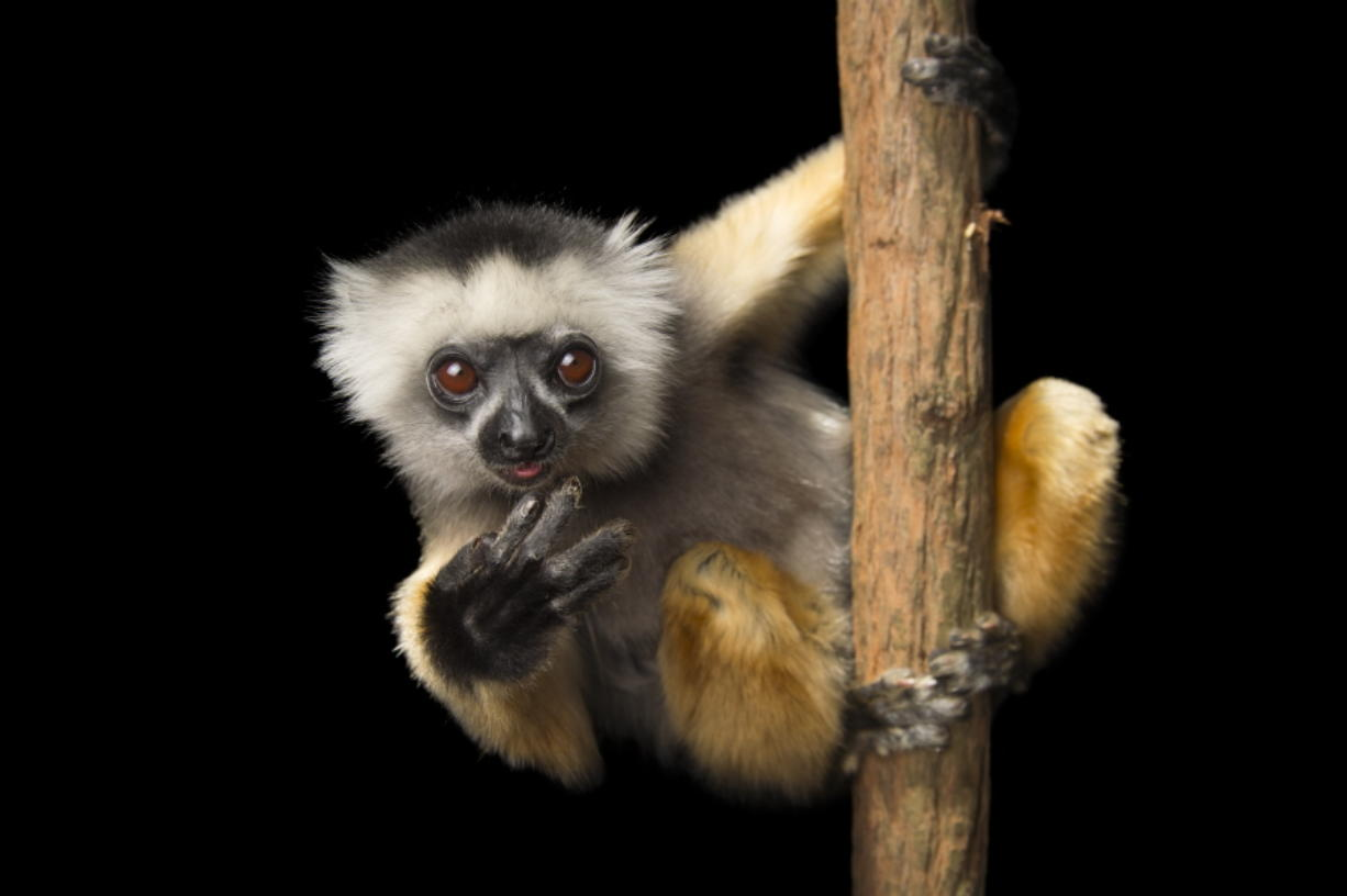 "This undated image released by PBS shows an endangered Diademed sifaka (Propithecus diadema) at Lemuria Land in Madagascar. National Geographic photographer Joel Sartore is documenting thousands of rare animal species. His quest is detailed in the PBS series ""Rare: Creatures of the Photo Ark,"" a three-part series debuted July 18. (Joel Sartore/PBS via AP)"