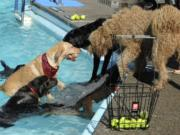 Dogs chase balls in the pool at Lake Shore Athletic club during a fundraiser for Humane Society for Southwest Washington.