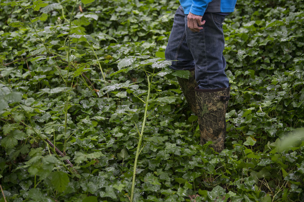 A thick blanket of invasive English Ivy and blackberry bushes cover the boots of Tom Dwyer at Fisher Creek in June 15.